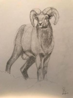 Big Horn Sheep Study